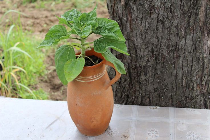 Sunflower in old jug - Slnečnica v starom krčahu