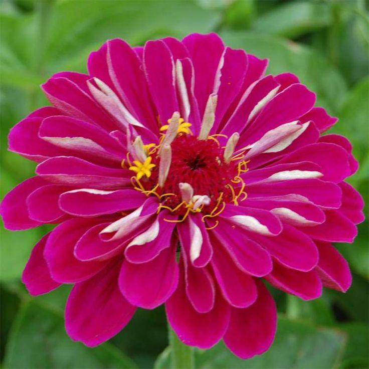 Zínia é uma das Espécies de Flores para atrair Borboletas ao seu Jardim