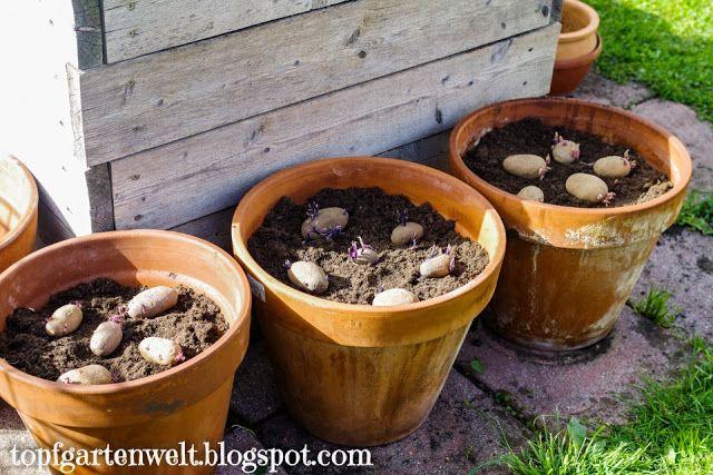 Kartoffeln Im Topf Anpflanzen In 2020