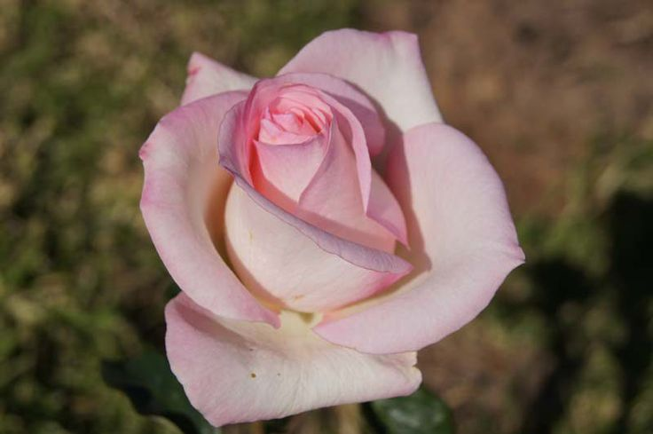 Christa Steyn | A tall hybrid tea rose with very fragrant blooms and exquisite colouring; deep cream rising out of the deep centred bloom, to acquire a touch of pink towards the petal edges. The bush is free flowering and is a superb provider of masses of cut flowers. It is named in memory of Christa Steyn who was a well-known singer, song-writer and pianist and pianist.