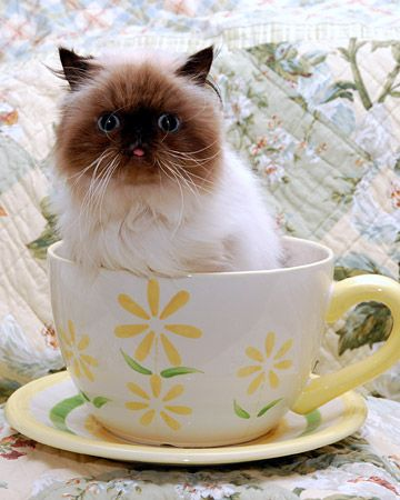"""When the tea is brought at 5 o'clock, and all the neat curtains are drawn with care; the little...cat with the bright green eyes is suddenly purring there."" --Harold Monro"
