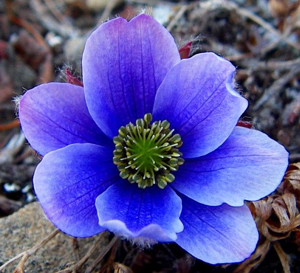 Arctic Tundra Plants with Names | Flower Characteristics ...