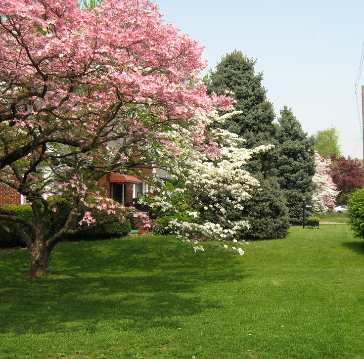 Dogwoods and evergreen trees