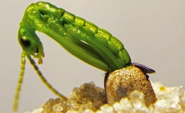 Πλησίστιος...: Dryococelus australis