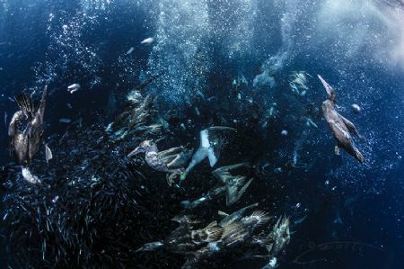 ~ Frenzy ~ Probably the predators which lights up a bait... by Geo Cloete