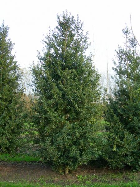 Ilex aquifolium 'J.C. van Tol' | Evergreen trees and shrubs
