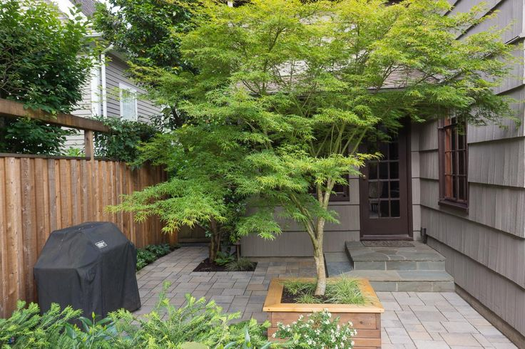 Acer palmatum 'Ôsakazuki' - Google-søgning