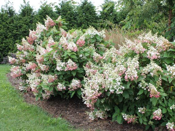 642 best images about hydrangea paniculata on pinterest. Black Bedroom Furniture Sets. Home Design Ideas