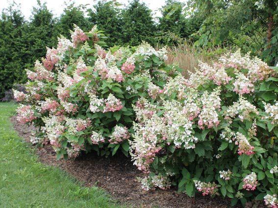 de 25 bedste id er inden for hydrangea paniculata pinky winky p pinterest hortensia. Black Bedroom Furniture Sets. Home Design Ideas