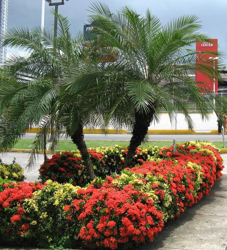 A pair of Phoenix roebelenii outlined by a hedge of exuberant dwarf ixora in panama city.