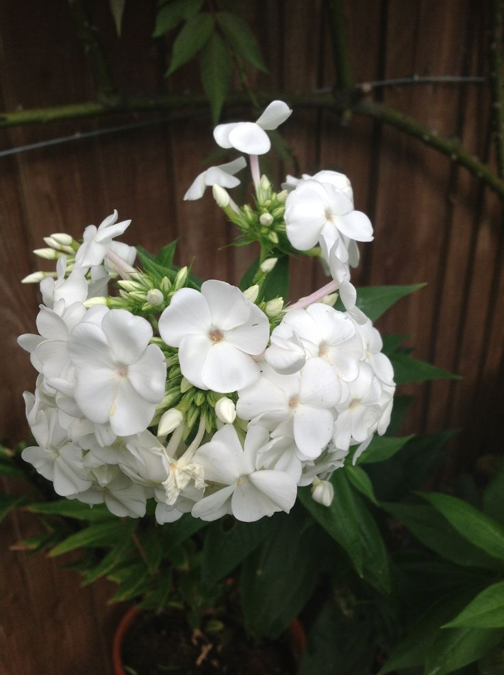 1000+ images about Phlox Bouquet on Pinterest | Sweet peas ...