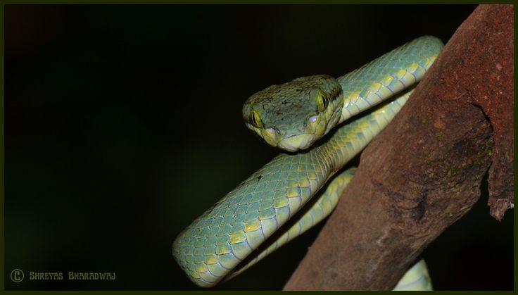 Bamboo Pit Viper