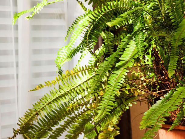 Diese Pflanzen helfen dir dabei, besser zu schlafen: Nephrolepsis