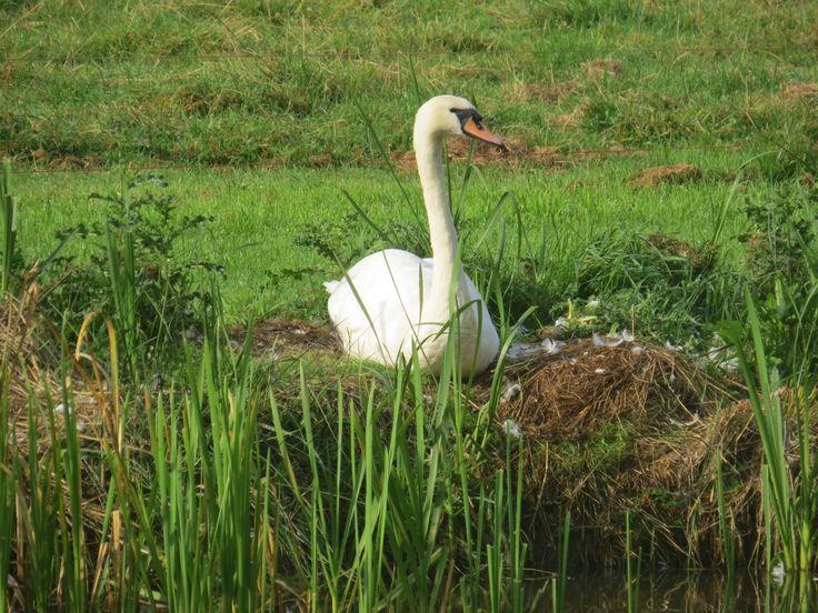 2014-09-07 Mooie zwaan op nest bij Den Alerdinck