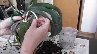(30) Pflegeanleitung: Orchideen - Rückschnitt, Wurzelschnitt, Wässern, Düngen - YouTube