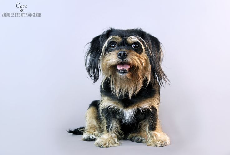 Coco - Kings Charles Spaniel crossed with Yorkshire Terrier