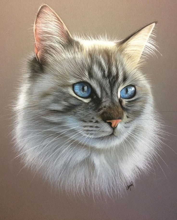 #dessinrealiste #dessin #chat #sacredebirmanie #lespastelsdevir #catportrait #cat #cats #art #artrealism #artrealist #pastelmat #pastelpencils