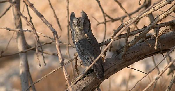 Pallid Scops Owl (Otus brucei). Image by James P. Smith. Location: Israel. November 2002.