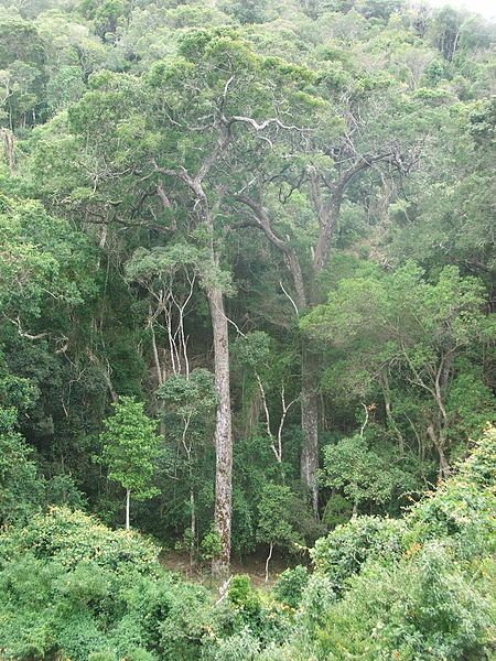 File:Afromontane indigenous forest of South Africa 9.JPG