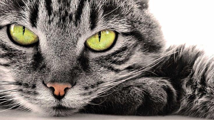 Noorse boskatten cattery phielixcats