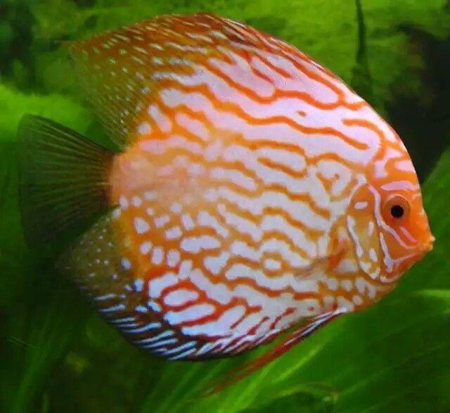 """Pez Disco Todas las especies de peces disco tienen una forma de cuerpo comprimido lateralmente. Sin embargo, las aletas extendidas están ausentes en los peces disco y se da una forma más redondeada. Es esta la forma del cuerpo de la que su nombre común, """"disco"""", se deriva. Los costados de los peces son frecuentemente dibujos en tonos de verde, rojo, marrón y azul. La altura y longitud de los peces cultivados son unos 20-25 cm (8-10 pulgadas)…"""