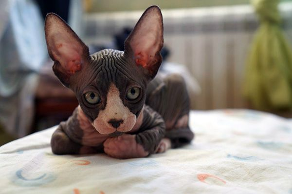 black and white sphynx cat - Google Search