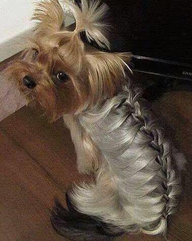 yorkie french braid                                                       …