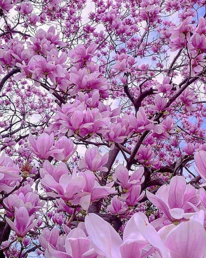 Flower Meaning Perseverance Flowersandflowerthings In 2020 Flower Garden Flowers Magnolia Flower