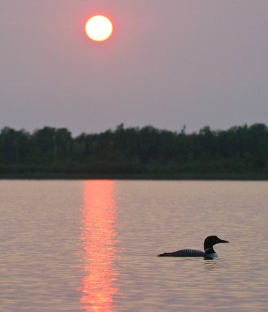 We have a big one on our Loon Lake - he is solitary (they mate for life), but he is big and imposing!