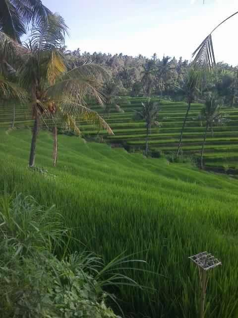 Bali, Buleleng - Panji : At rice field