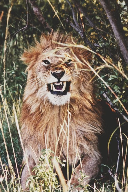 Lion snarl / nature photography
