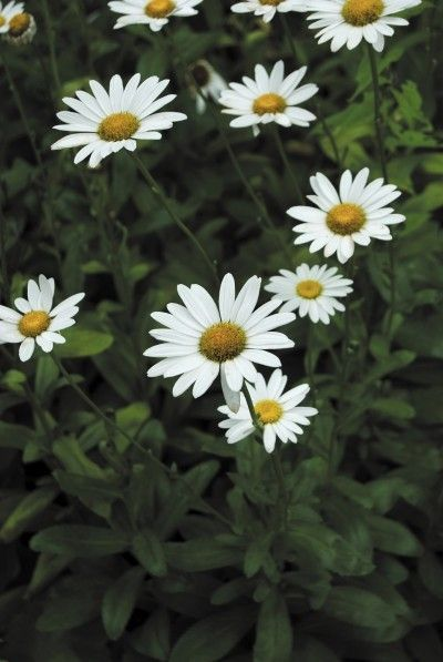 Shasta Daisy Pruning: Tips On Cutting Back Shasta Daisies -  Proper year end care of your plants will ensure a bountiful supply of rayed blooms, and this includes cutting back Shasta daisies. You should know when to prune Shasta daisy and some tips on the method for healthiest plants. This article will help with that.