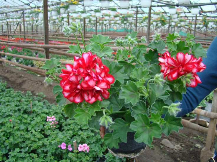 """Muscata """" Arctic Red"""""""