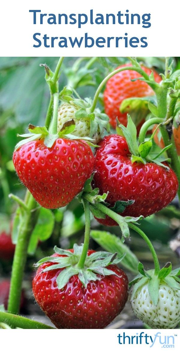 Choose young plants or rooted runners for the best results when transplanting strawberry plants. This is a guide about transplanting strawberries.