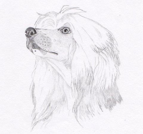 21 Best Chinese Crested Drawing Images On Pinterest