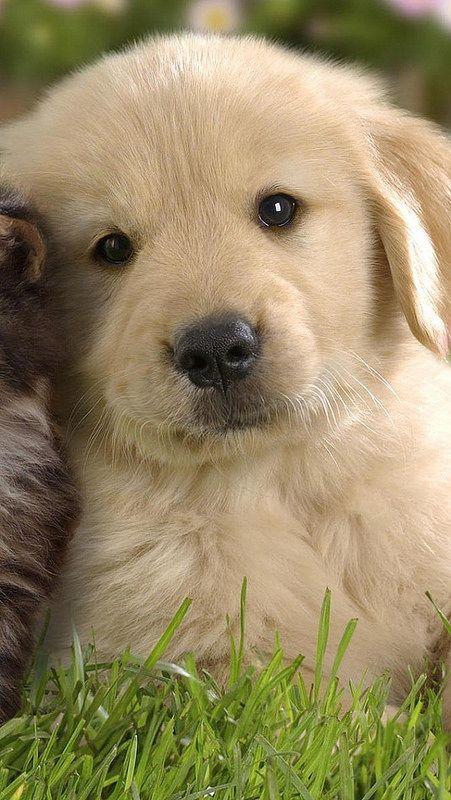 #GoldenRetriever #Love #Dogs