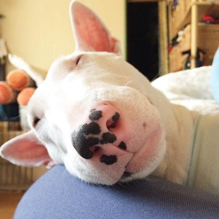 ・ イイ寝っぷり寝😴💤💤💤 ・ ・ #miniaturebullterrier #minibull #ミニチュアブルテリア #noah #bullterrier #ブルテリア #dog #bully #LOVEnoah220 #BullTerrierLove #Myprince#Iamadog #alwaystogether #socute #naptime #gwの中休み #のんびり平日 #母ちゃんの脚は王子の枕 #毎日が奇跡 #いつも一緒 #有り難や