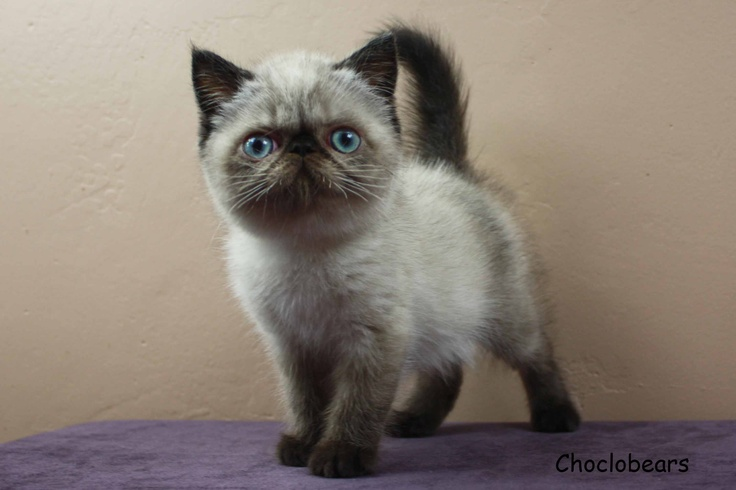 Choclobears Seal Point Exotic Shorthair 10 Weeks Old