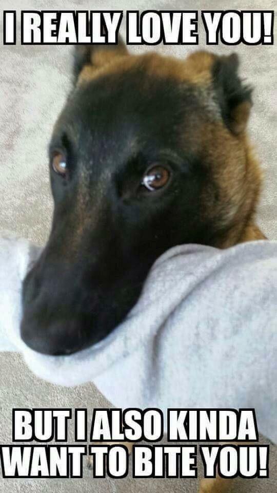 Lol! Landsharks!!!   German Shepherds   Malinois dog, Puppy biting, Dogs