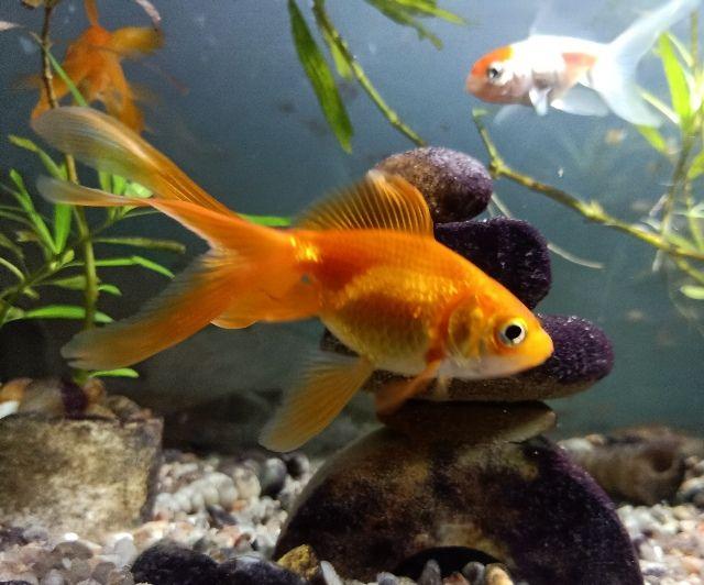 5 Reasons To Own A Pet Goldfish In 2020 Pet Fish Pet Goldfish Goldfish Breeding