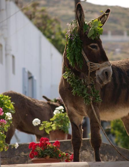 On the island of #Naxos, the May Day custom of donkey-raising lives on! Yearly, on the eve of May 1st, natives haul the  donkeys on the terraces of houses to lower them down at noon during the May Day celebration for spectators to see. The origins of the tradition are unclear; one theory holds that it originated as means of courtship for young men to awe female admirers, another that the donkeys were raised to be hidden from  those who preferred to work instead of celebrating the Labor day.