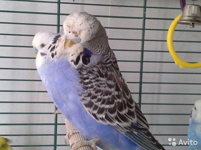 Две сестры попугаи ввп