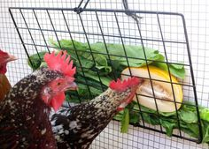 DIY Project! Peck-It-Clean Veggie Feeder for Chickens ::: http://TheGardenCoop.com