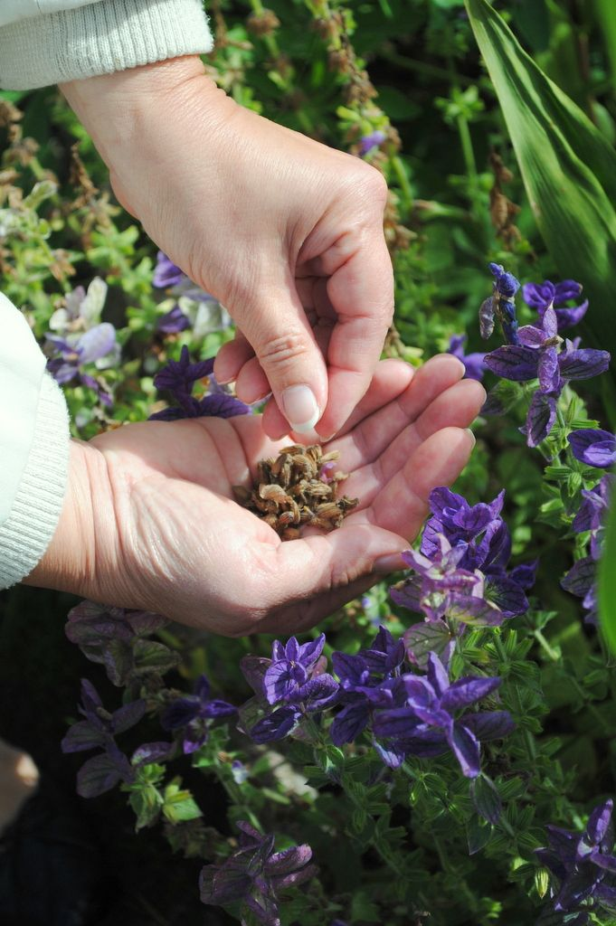Zbieramy Nasiona Kwiatow Jednorocznych Naogrodowej Pl Plants