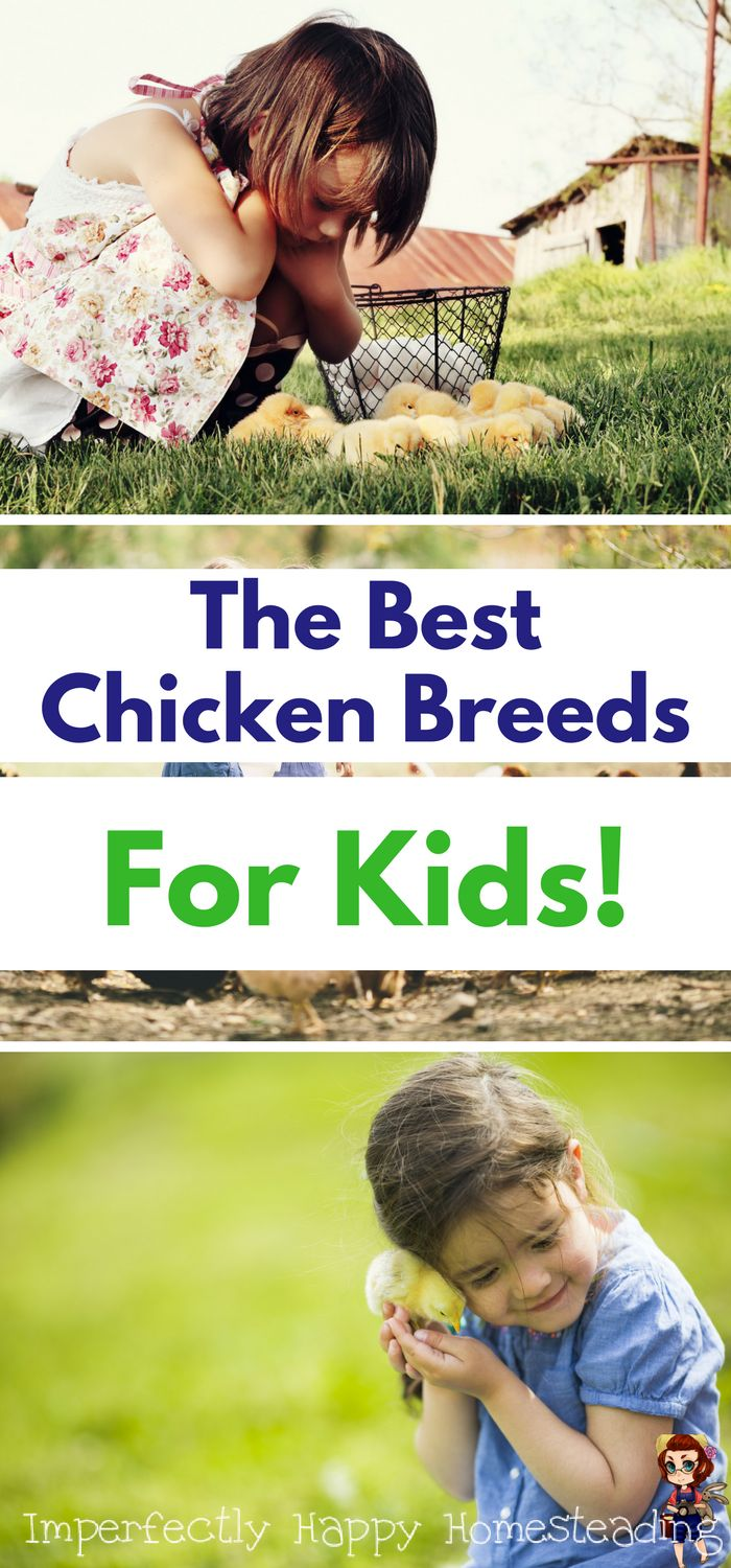 The Best Chicken Breeds for Kids for Your Backyard Farm, Homestead or 4H.