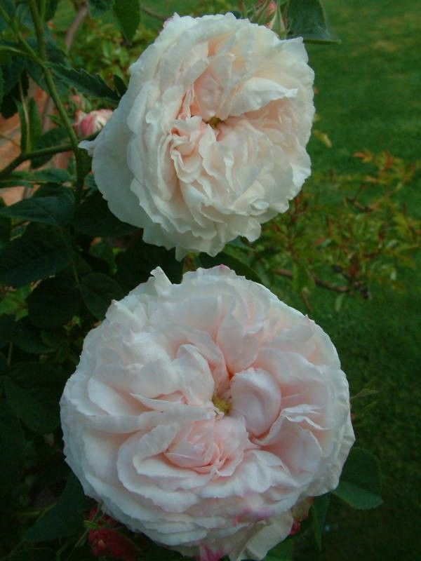 Botzaris - Damascos - rosas velhas do jardim - Rose Catálogo - Tasman Bay Roses - Comprar Online Rosas na Nova Zelândia