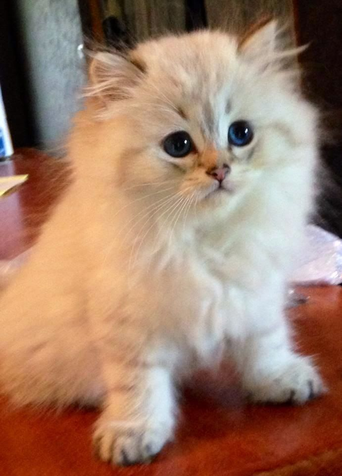 Top 5 Long Haired Cat Breeds Cute Cats Cute Cats And Kittens