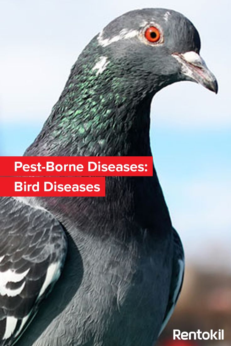 Learn about the common diseases spread by birds such as pigeons and gulls