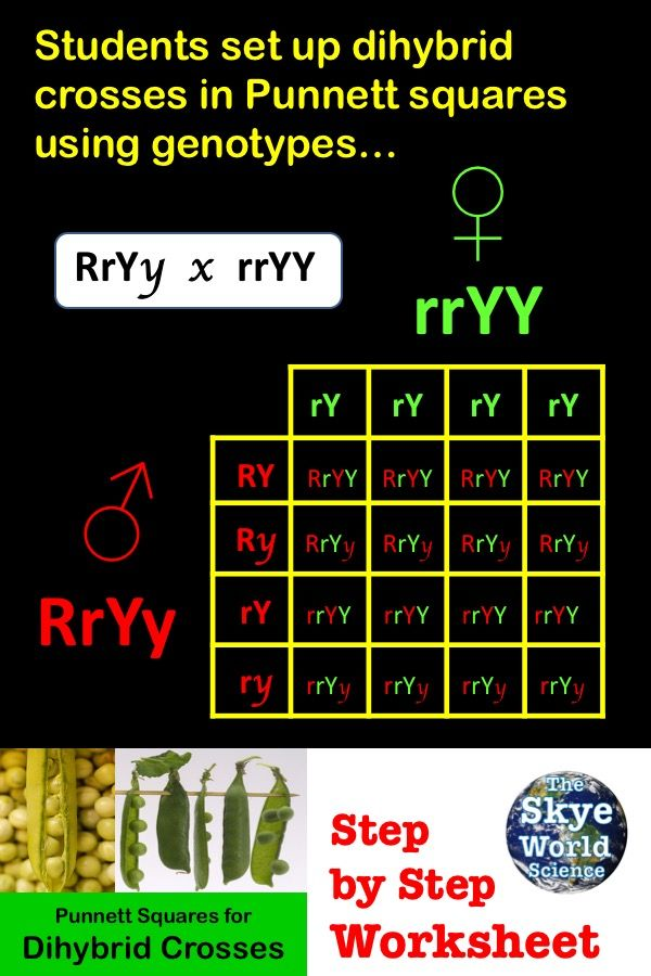 Punnett Squares For Dihybrid Crosses Worksheet With Images