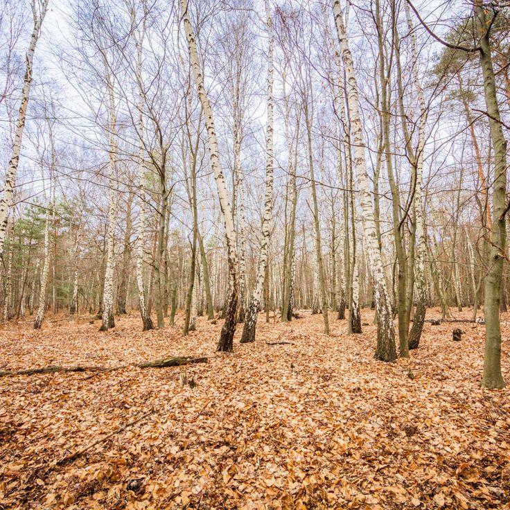 Bild 36 - Zadlitzbruch in der Dübener Heide bei Torgau | © Michael Eichhorn #zadlitzbruch #dübener_heide #naturschutzgebiet #sachsen #saxony #ausflugsziel #torf #moor #hochmoor #wandern #dübenerheide #duebenerheide #torgau #baddueben #baddüben #wald #sumpf #sumpfgebiet #natur #naturschutz #reservat #biosphäre #biosphere #farn #naturpark #falkenberg #trossin #dresden #nordsachsen #leipzig #sehenswürdigkeit #ziel #sonnentau #sumpfdotterblume #kranich